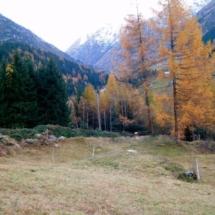 Lärchen im Herbstgewand